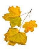 Fogli di autunno isolati su priorità bassa bianca Immagini Stock