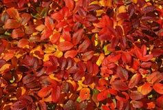 Fogli di autunno luminosi. Fotografia Stock