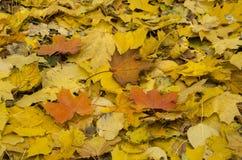 Fogli di autunno luminosi Immagine Stock