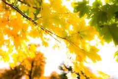Fogli di autunno luminosi fotografia stock libera da diritti