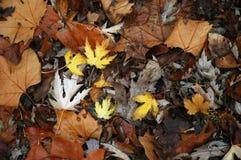 Fogli di autunno nella caduta Fotografie Stock
