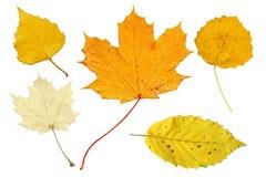 Fogli di autunno pallidi e gialli Fotografia Stock