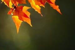 Fogli di autunno rossi Fotografia Stock Libera da Diritti