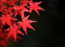 Fogli di autunno rossi Immagine Stock