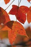 Fogli di autunno rossi luminosi Immagine Stock