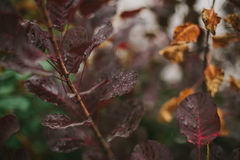 Fogli di autunno rossi Rugiada sui fogli Autunno Dopo pioggia Fotografia Stock Libera da Diritti