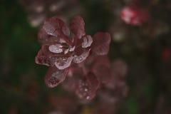 Fogli di autunno rossi Rugiada sui fogli Autunno Dopo pioggia Immagine Stock