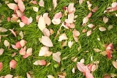 Fogli di autunno su erba. Immagine Stock