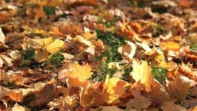 Fogli di autunno su erba verde stock footage