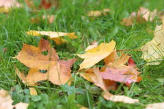 Fogli di autunno su erba verde Fotografie Stock