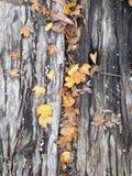Fogli di autunno su legno Immagine Stock