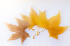Fogli di autunno su priorità bassa bianca Immagini Stock Libere da Diritti
