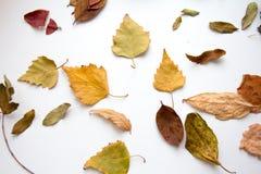 Fogli di autunno su priorità bassa bianca Fotografia Stock Libera da Diritti