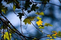 Fogli di autunno su un albero Immagine Stock Libera da Diritti