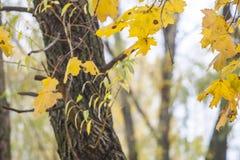 Fogli di autunno sugli alberi Fotografia Stock Libera da Diritti