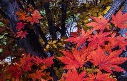 Fogli di autunno sull'albero Immagini Stock