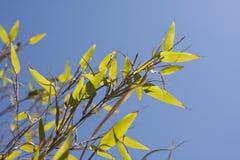 Fogli di Bambu Fotografia Stock Libera da Diritti