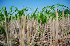 Fogli di cereale e di paglia Fotografie Stock Libere da Diritti