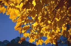 Fogli di colore giallo Fotografia Stock Libera da Diritti