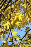 Fogli di colore giallo, autunno immagine stock