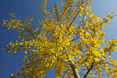 Fogli di colore giallo del ginkgo Fotografie Stock Libere da Diritti