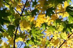 Fogli di colore giallo dell'acero fotografia stock