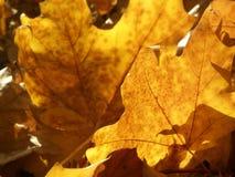Fogli di colore giallo di autunno fotografia stock