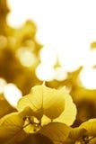 Fogli di colore giallo di autunno fotografia stock libera da diritti