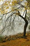 Fogli di colore giallo di autunno su un albero Fotografia Stock