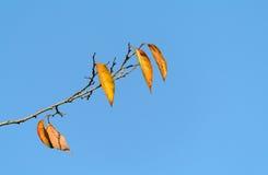 Fogli di colore giallo di un albero sopra immagini stock