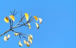 Fogli di colore giallo di un albero sopra fotografia stock