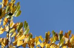 Fogli di colore giallo di un albero sopra immagine stock libera da diritti