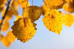 Fogli di colore giallo di una betulla Immagine Stock