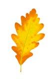 Fogli di colore giallo di una quercia Fotografia Stock