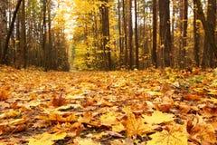 Fogli di colore giallo nella foresta di autunno Immagini Stock