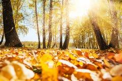 Fogli di colore giallo nella foresta di autunno Fotografia Stock