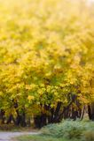 Fogli di colore giallo nella sosta di autunno Fotografia Stock Libera da Diritti
