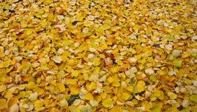 Fogli di colore giallo Parco, paesaggio di autunno della foresta immagini stock