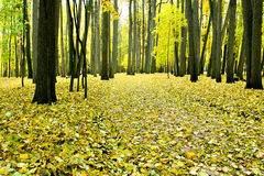 Fogli di colore giallo in sosta d'autunno Fotografia Stock Libera da Diritti