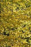 Fogli di colore giallo sugli alberi di autunno Immagine Stock Libera da Diritti