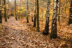 Fogli di colore giallo sul percorso in foresta Fotografie Stock Libere da Diritti
