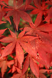 Fogli di colore rosso Immagine Stock