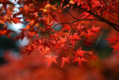 Fogli di colore rosso in autunno Fotografia Stock Libera da Diritti