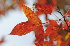 Fogli di colore rosso in autunno Immagini Stock