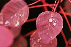 Fogli di colore rosso con i Dewdrops Fotografia Stock Libera da Diritti