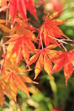 Fogli di colore rosso di autunno Immagine Stock