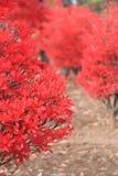 Fogli di colore rosso di autunno Fotografia Stock Libera da Diritti