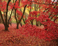 Fogli di colore rosso in foresta immagine stock libera da diritti