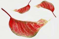 Fogli di colore rosso isolati Immagini Stock Libere da Diritti