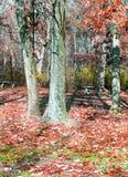 Fogli di colore rosso nella foresta Immagini Stock